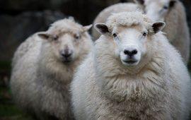 Merino Sheep New Zealand